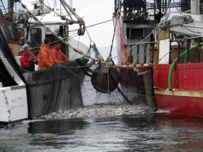 Export and exploitation of new jersey 39 s menhaden for Bunker up fishing
