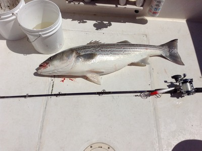 Nice spring striper on a clam