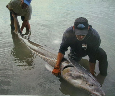 giant 400 lb Sturgeon caught on Fraser river last month by our guests