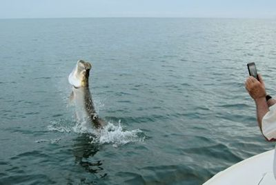 Barry Slee, from IL, jumped and landed this tarpon on a live crab while fishing the coastal gulf in Sarasota with Capt. Rick Grassett.