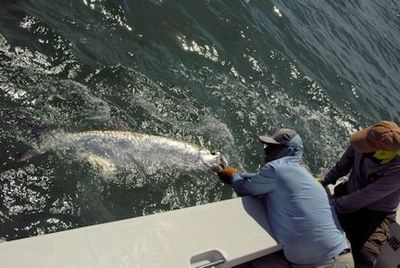 Capt. Rick Grassett revives a tarpon caught and released by Bill Nesbitt on a fly while fishing in Sarasota with Capt. Rick Grassett.