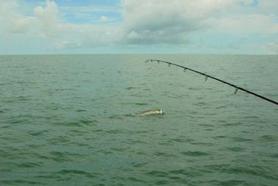 Denis Clohisy's tarpon alongside the boat in the coastal gulf in Sarasota while fishing with Capt. Rick Grassett.