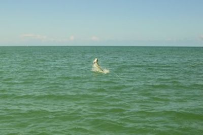 Hal Lutz jumps a tarpon on a fly in the coastal gulf in Sarasota while fishing with Capt. Rick Grassett.