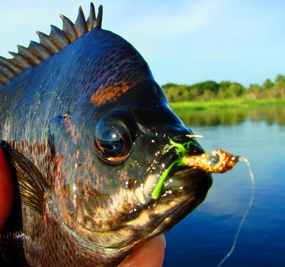 Fish Exotic World Species In Florida Canals as well 351571 Florida Update further Fish Exotic World Species In Florida Canals also Tripsrates together with 266466 Biggest Oscar 2. on oscar fishing in the everglades