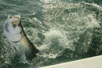 Hal Lutz, from Parrish, FL, jumped this tarpon in the coastal gulf in Sarasota while fishing with Capt. Rick Grassett.