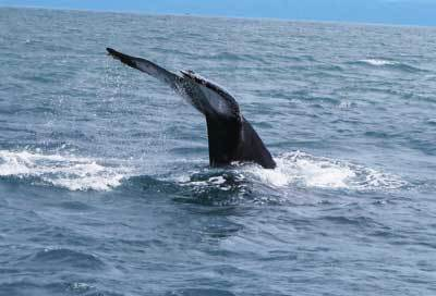 12 Humpback Whales were sited last week on Costa Rica's Osa Peninsula