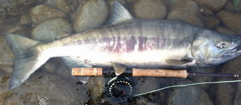 fresh chum salmon caught fly fishing 45 minutes from downtown Vancouver BC