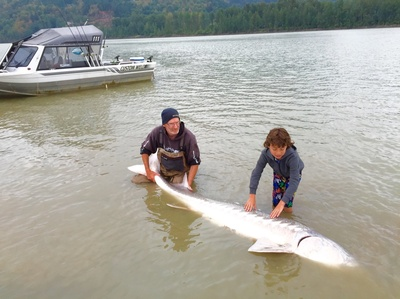giant Fraser river Sturgeon are common this summer