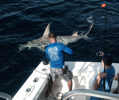 Bobby leadering a HUGE hammerhead shark