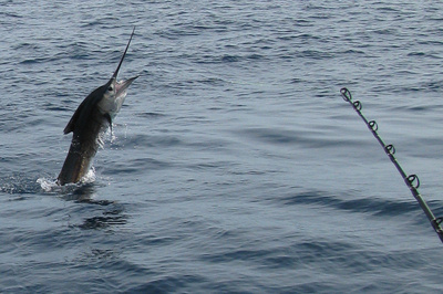 Sailfish On Jumping Behind Boat