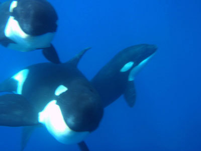 Will Rogers Jumps in With a Pod of Killer Whales